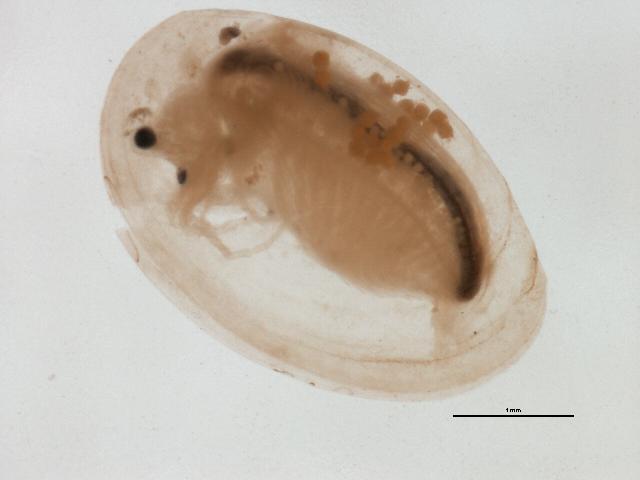 Image of Eulimnadia