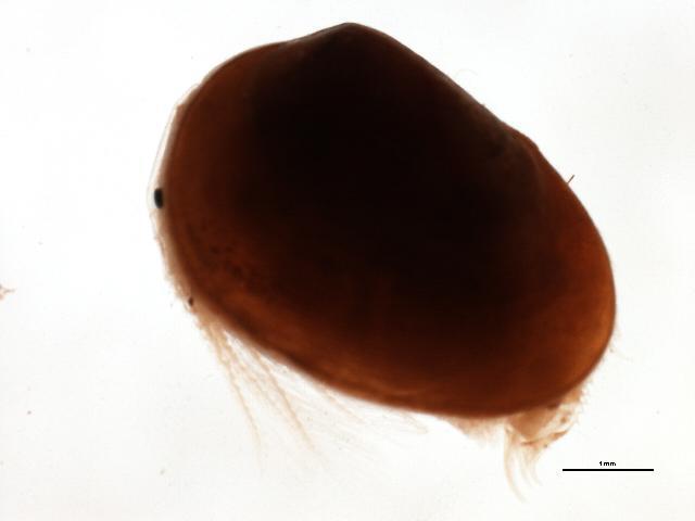 Image of <i>Cyzicus</i>