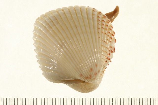 Image of Fragum