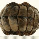 Image of <i>Acanthopleura gaimardi</i>