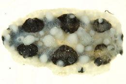 Image of Lumpy yellow eyespot slug