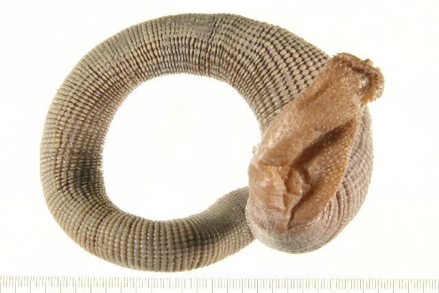 Image of sipunculids