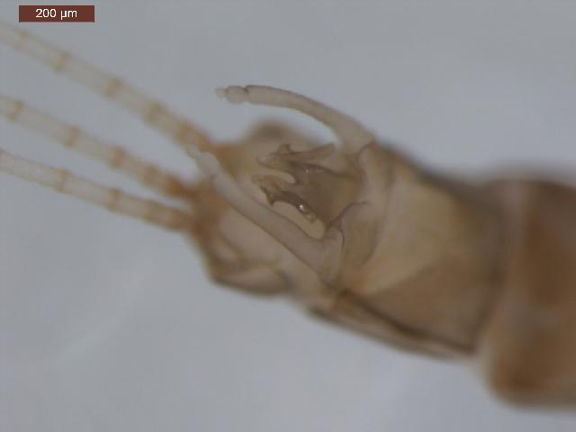 Image of <i>Paraleptophlebia gregalis</i> (Eaton 1884)