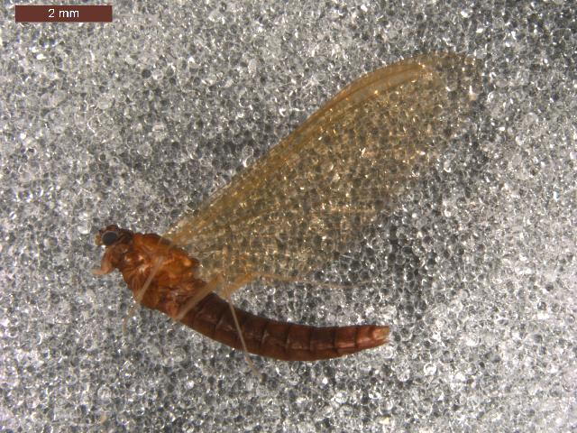 Image of <i>Paraleptophlebia</i>