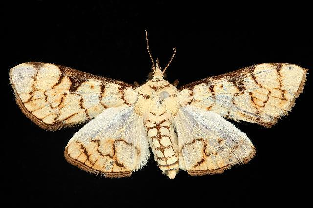 Image of <i>Aphytoceros lucusalis</i> Walker 1859