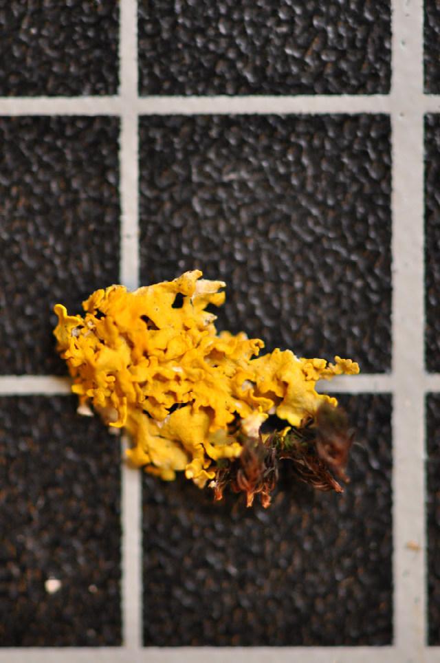 Image of <i>Xanthoria aureola</i> (Ach.) Erichsen