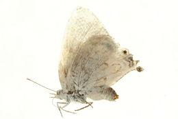 Image of Leptomyrina