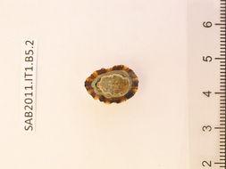 Image of <i>Patella candei</i> d'Orbigny 1840