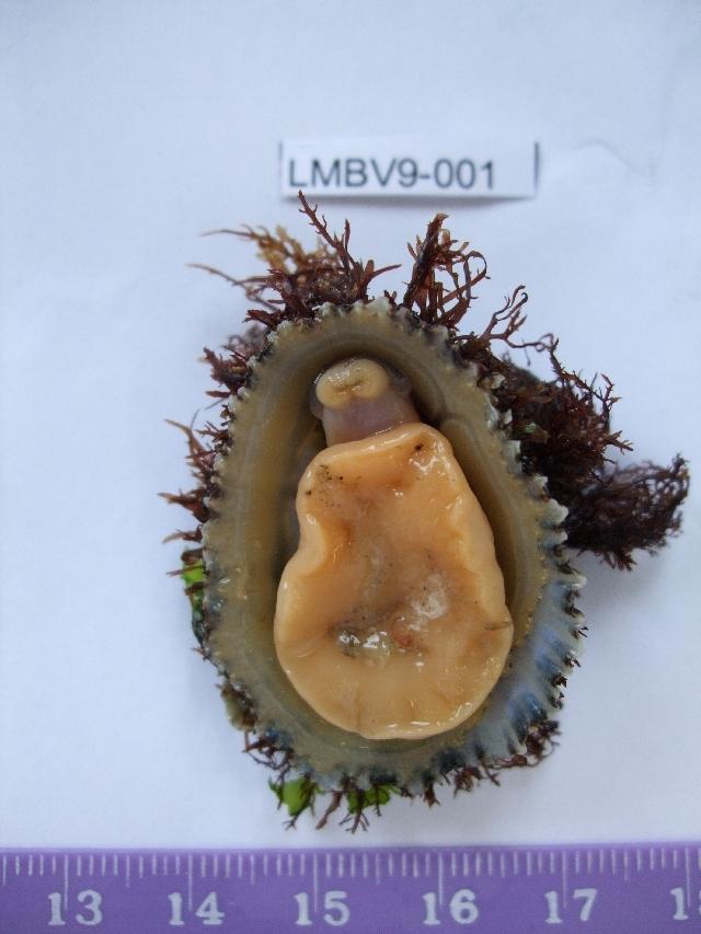 Image of <i>Patella ulyssiponensis</i> Gmelin 1791