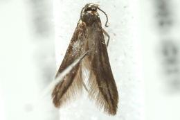 Image of <i>Schreckensteinia</i>