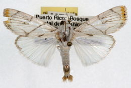 Image of <i>Dichogama innocua</i> Fabricius 1793