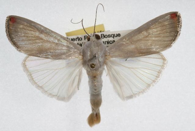 Image of <i>Dichogama amabilis</i> Möschler 1889