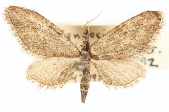 Image of <i>Eupithecia mystiata</i> Cassino 1925