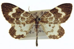 Image of <i>Trichodezia californiata</i> Packard 1871