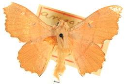 Image of <i>Lacosoma arizonicum</i> Dyar 1898