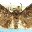 Image of <i>Euprosterna lacipea</i> Druce 1890