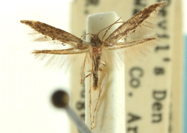 Image of <i>Epermenia pimpinella</i> Murtfeldt 1900