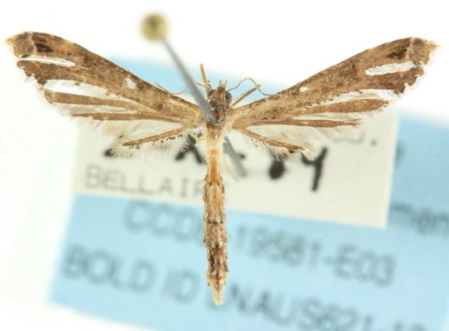 Image of <i>Stenoptilodes brevipennis</i> (Zeller 1874)