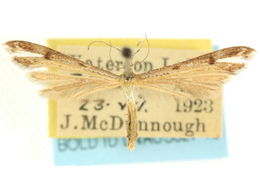 Image of <i>Stenoptilia coloradensis</i> Fernald 1898