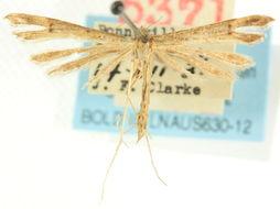 Image of <i>Stenoptilia exclamationis</i> (Walsingham 1880)