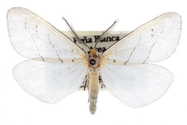 Image of <i>Leuculodes lacteolaria</i> Hulst 1896