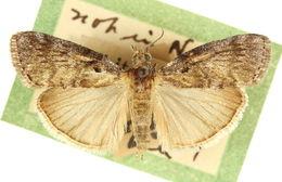 Image of <i>Pococera arizonella</i> Barnes & Benjamin 1924