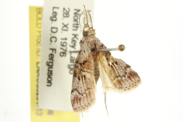 Image of <i>Pococera floridella</i> Hulst 1900