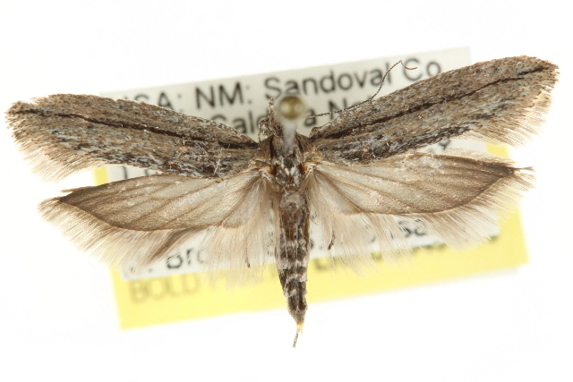 Image of <i>Ypsolopha flavistrigella</i>