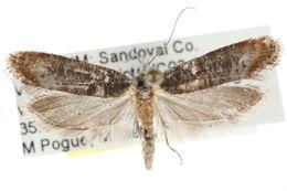 Image of <i>Ypsolopha undulatella</i>
