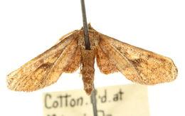 Image of <i>Rhodoneura terminalis</i> Walker 1865