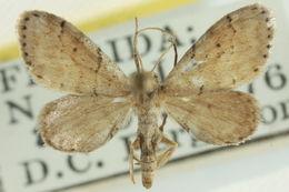 Image of <i>Idaea insulensis</i> Rindge 1958
