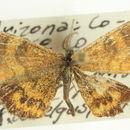 Image of <i>Paota fultaria</i> Grote 1882