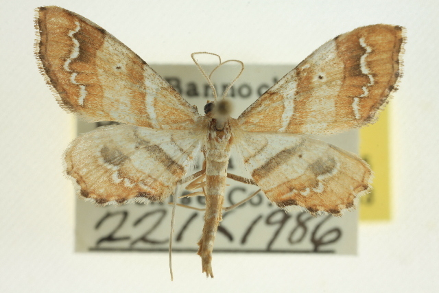 Image of <i>Odontoptila obrimo</i> Druce 1892
