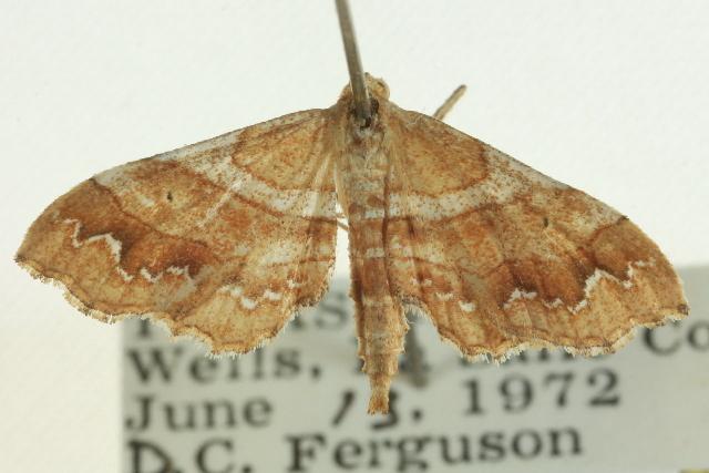 Image of <i>Ptychamalia dorneraria</i> Barnes & McDunnough 1913