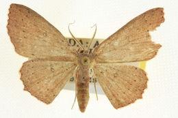 Image of Waxmyrtle Wave Moth