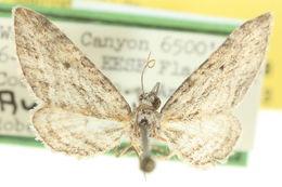 Image of <i>Eupithecia longidens</i> Hulst 1896