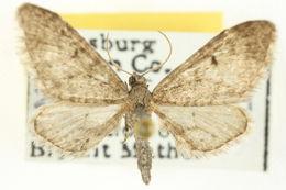 Image of <i>Eupithecia matheri</i> Rindge