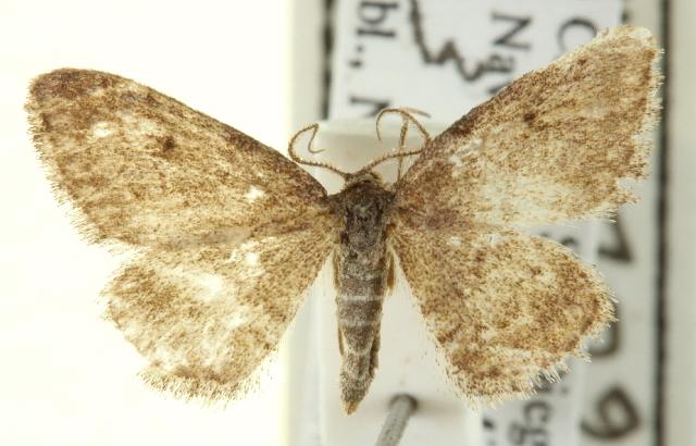 Image of <i>Lobocleta granitaria</i> Packard 1871
