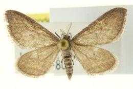 Image of <i>Lobocleta griseata</i> Cassino 1931