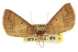 Image of <i>Drepanulatrix garneri</i> Blanchard & Knudson