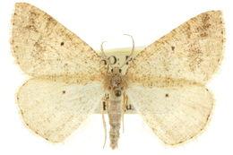 Image of <i>Drepanulatrix baueraria</i> Sperry 1948