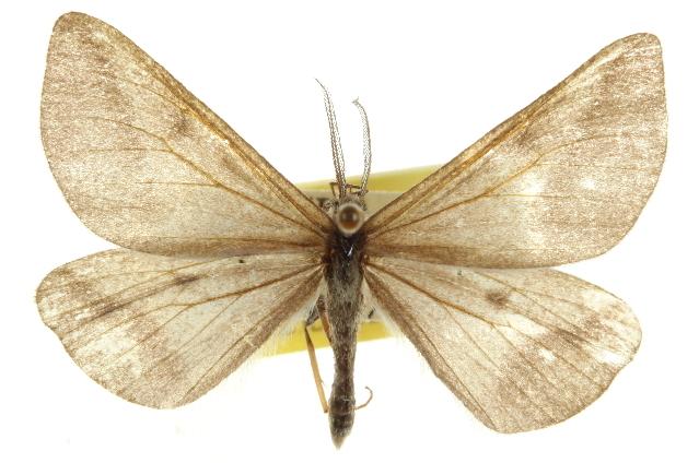 Image of <i>Aspitates conspersaria</i> Staudinger 1901