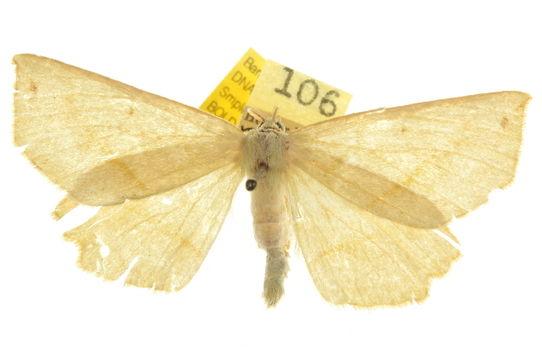 Image of <i>Euchlaena manubiaria</i> Hulst 1886