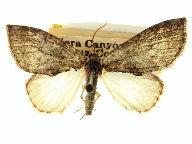 Image of <i>Hymenodria mediodentata</i>
