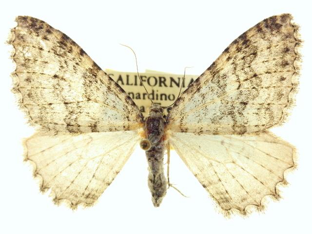 Image of <i>Triphosa bipectinata</i> Barnes & McDunnough
