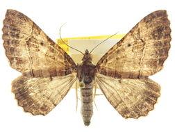 Image of <i>Pterocypha floridata</i>