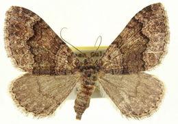 Image of <i>Euphyia swetti</i> Cassino 1927