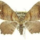 Image of <i>Herreshoffia gracea</i>