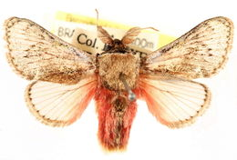 Image of <i>Brachycodilla osorius</i>