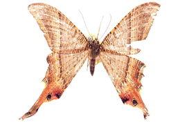 Image of <i>Sematura lunus</i>